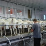 Goats, Milking Picture