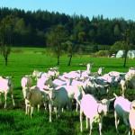 Goats, outsideIMG_5186