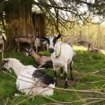 Goats under a tree DSC04005