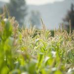 Lepp Farm 0012 corn flowers