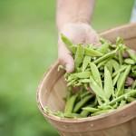 Lepp Farm 0071 bushel of pea pods