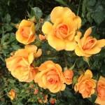 Select roses - yellow rose with rain drops