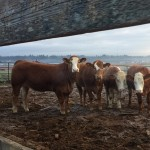 beef cows in paddock