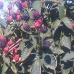 blackberries in field