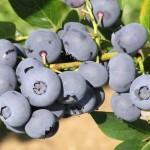 blueberry close-up clump duke3