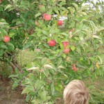 boy looking at apples on a tree