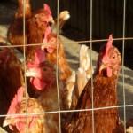 chickens IMG_1126