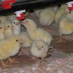 chicks 6235496