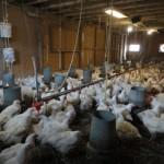 chiekens inside barn5222607