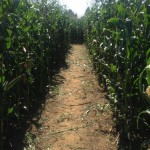 corn row IMG_3456