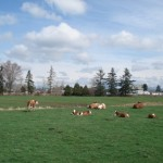cows, in a fieldDSC07193