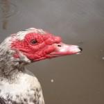 duck DSC08285