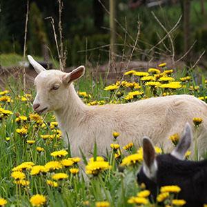 Goat's Pride Dairy Farm