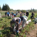 masses of people picking beets