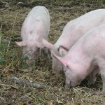 pigs, outdoor rooting