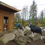 port kells nurseries goat palace
