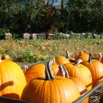 port kells nurseries pumpkin patch (2)