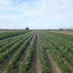 potato field in flower IMG_0476