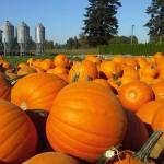 pumpkin harvest 2013