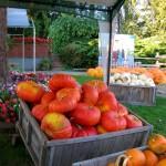 pumpkins in bins15