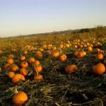 pumpkins in field Surrey-20131013-00074
