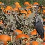 pumpkins in field with heron