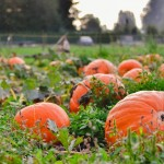 pumpkins in field1aaaa2