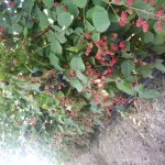 raspberries in field 2