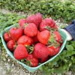 strawberries, in basket, held in a hand