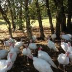 tureky, pasture raised