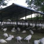 turkey pature raised