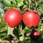 BC Locally Grown Apples