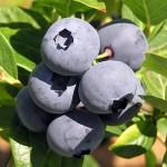 BC Local Farm Grown Blueberries