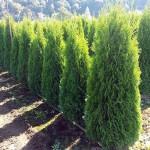 BC Local Farm Grown Cedar Hedging