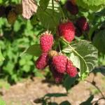 rapberries few berries