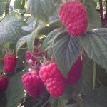 WBFraspberries