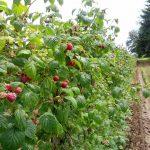 WBFraspberries2