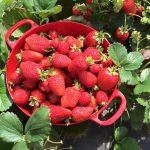 WBFstrawberries