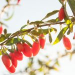 gojoy_berries_inc_3
