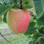 IMG_3917 single pinkish apple with rain drops