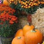 garden-mums-and-pumpkin