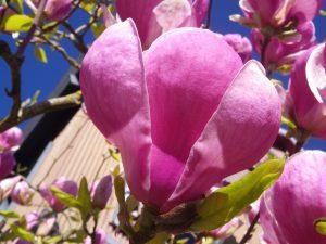 Magnolia Magic Bc Farm Fresh